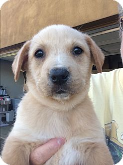 Golden Retriever/Australian Cattle Dog Mix Puppy for adoption in Cave Creek, Arizona - Corbin