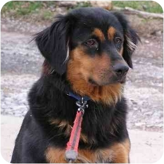 Bernese Mountain Dog/Golden Retriever Mix Dog for adoption in Brodheadsville, Pennsylvania - Misty