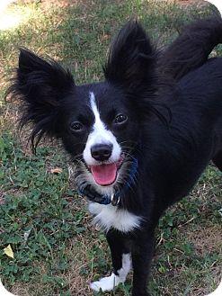 Papillon Mix Dog for adoption in Ypsilanti, Michigan - Sachee