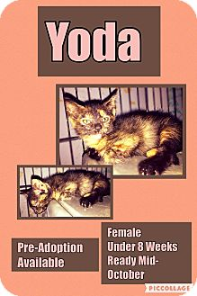 Domestic Shorthair Kitten for adoption in CLEVELAND, Ohio - Yoda