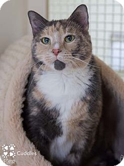 Domestic Shorthair Cat for adoption in Merrifield, Virginia - Cuddles