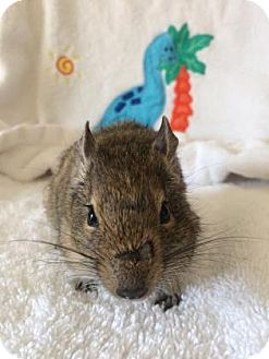 Degu for adoption in Lowell, Massachusetts - Broccoli