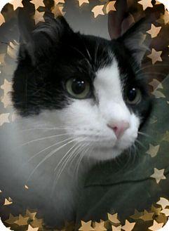 Domestic Shorthair Cat for adoption in Trevose, Pennsylvania - Christian