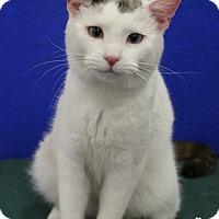 Adopt A Pet :: Captain Kirk - Dunkirk, NY