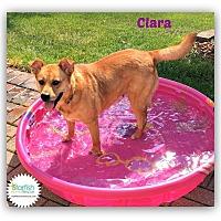 Adopt A Pet :: Clara - Plainfield, IL