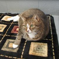 Domestic Shorthair/Domestic Shorthair Mix Cat for adoption in Ridgely, Maryland - Keeba