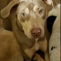Adopt A Pet :: Raleigh - justin, TX