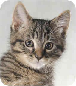 Domestic Shorthair Kitten for adoption in Chicago, Illinois - Austin