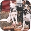 Photo 3 - Siberian Husky Dog for adoption in Carbondale, Colorado - Romeo