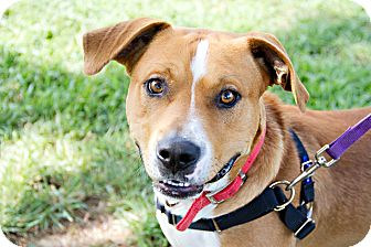 American Staffordshire Terrier Mix Dog for adoption in Monroe, Wisconsin - Clint