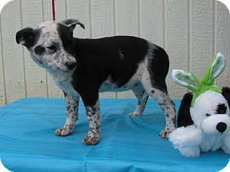 Feist/Australian Cattle Dog Mix Puppy for adoption in Humboldt, Tennessee - Paloma