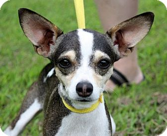 Italian Greyhound/Chihuahua Mix Dog for adoption in Spring Valley, New York - Thelma
