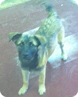 Husky/Shepherd (Unknown Type) Mix Puppy for adoption in Columbus, Nebraska - Rocky