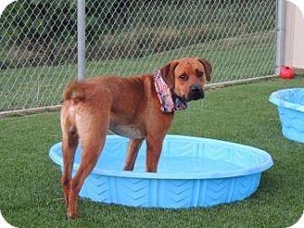 Rottweiler Dog for adoption in Edwardsville, Illinois - Drake