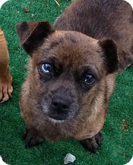 Dachshund/Chihuahua Mix Dog for adoption in San Marcos, California - Carly