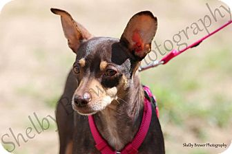 Chihuahua Puppy for adoption in Mead, Washington - Pansy
