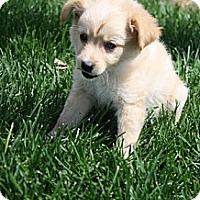 Adopt A Pet :: Linus - Broomfield, CO