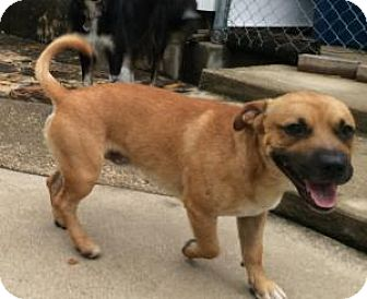 Boxer/Hound (Unknown Type) Mix Dog for adoption in Dallas, Texas - Little Toby
