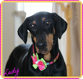 Doberman Pinscher Dog for adoption in Albuquerque, New Mexico - Lady (Adopt Pending)