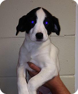 Pointer Mix Puppy for adoption in East Windsor, Connecticut - Gee Gee