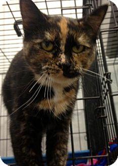 Domestic Shorthair Cat for adoption in Detroit Lakes, Minnesota - Hera