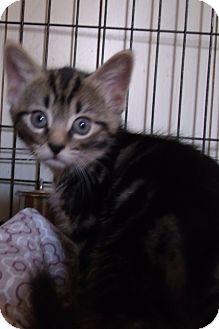 Domestic Shorthair Kitten for adoption in Acme, Pennsylvania - KEELYN