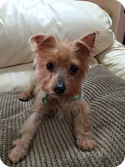 Yorkie, Yorkshire Terrier Mix Dog for adoption in Orlando, Florida - Chance
