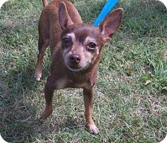 Chihuahua Dog for adoption in Suffolk, Virginia - China
