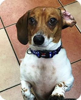 Dachshund Dog for adoption in Miami, Florida - Little Caesar