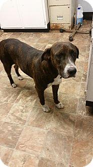 Plott Hound/Labrador Retriever Mix Dog for adoption in Darlington, South Carolina - Layla