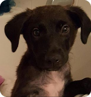 Labrador Retriever Mix Puppy for adoption in Houston, Texas - Reese
