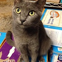 Domestic Shorthair Cat for adoption in Sunset, Louisiana - Tali