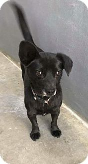 Dachshund/Chihuahua Mix Dog for adoption in Wytheville, Virginia - Sweetums