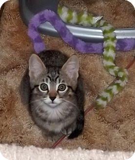 Domestic Shorthair Kitten for adoption in Salem, Oregon - Danny