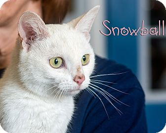 Domestic Shorthair Cat for adoption in Somerset, Pennsylvania - Snowball