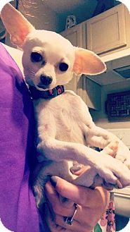 Chihuahua Mix Dog for adoption in Columbus, Ohio - Itty Bit
