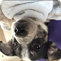 Adopt A Pet :: Zircon - Evergreen, CO