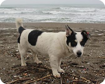 Corgi/Jack Russell Terrier Mix Dog for adoption in WADSWORTH, Illinois - MINNIE