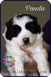 Border Collie/Jindo Mix Puppy for adoption in Litchfield Park, Arizona - Panda