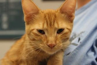 Domestic Shorthair/Domestic Shorthair Mix Kitten for adoption in Wichita Falls, Texas - Picolo
