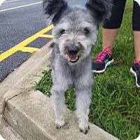 Cairn Terrier/Norfolk Terrier Mix Dog for adoption in Westminster, Maryland - Smokey