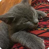 Domestic Shorthair Kitten for adoption in Lockport, New York - Zelda