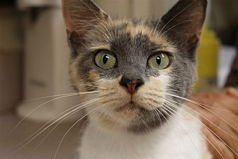 Domestic Shorthair Cat for adoption in Salisbury, Maryland - Pasta