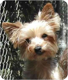 Yorkie, Yorkshire Terrier Dog for adoption in El Segundo, California - Barbie