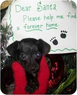 Pomeranian/Rat Terrier Mix Puppy for adoption in Vandalia, Illinois - Kris Kringle