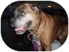 Boxer Dog for adoption in Sunderland, Massachusetts - Professor Rocko