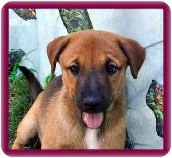 German Shepherd Dog/Shar Pei Mix Puppy for adoption in Redding, Connecticut - Emily
