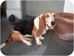 Basset Hound Dog for adoption in Folsom, Louisiana - Henrietta