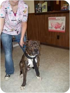 Bullmastiff/Boxer Mix Dog for adoption in Lebanon, Maine - Artemus