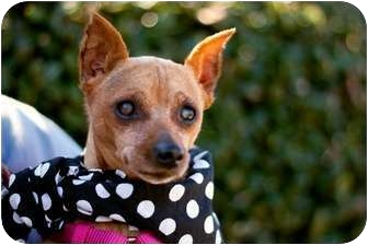 Miniature Pinscher Dog for adoption in Woodstock, Georgia - Daisy